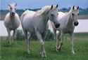 1361-100pc-White-Stallions-Jigsaw-Puzzle-by-Melissa--Doug_11850B.jpg